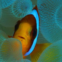 anemonefish_blueabyss