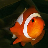 clownfish_blueabyss