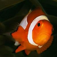 clownfish_blueabyss