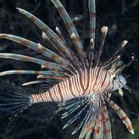 lionfish_neptune