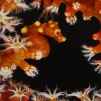 pygmy_seahorse_blueabyss