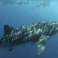 whaleshark_neptune